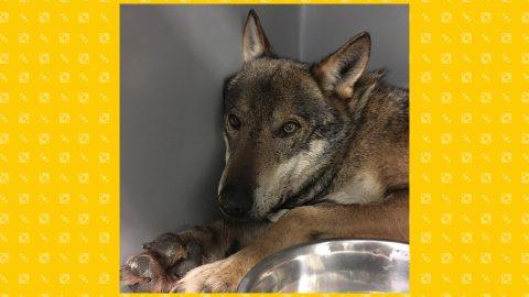 La storia a lieto fine del giovane lupo Arvo. Intervista al dottor Marcianò