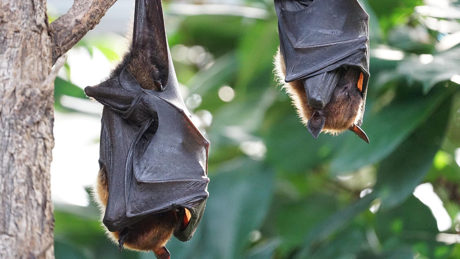pipistrelli e coronavirus